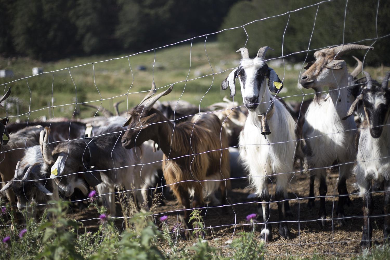 kelle-terre-pastorizia-in-festival-picinisco