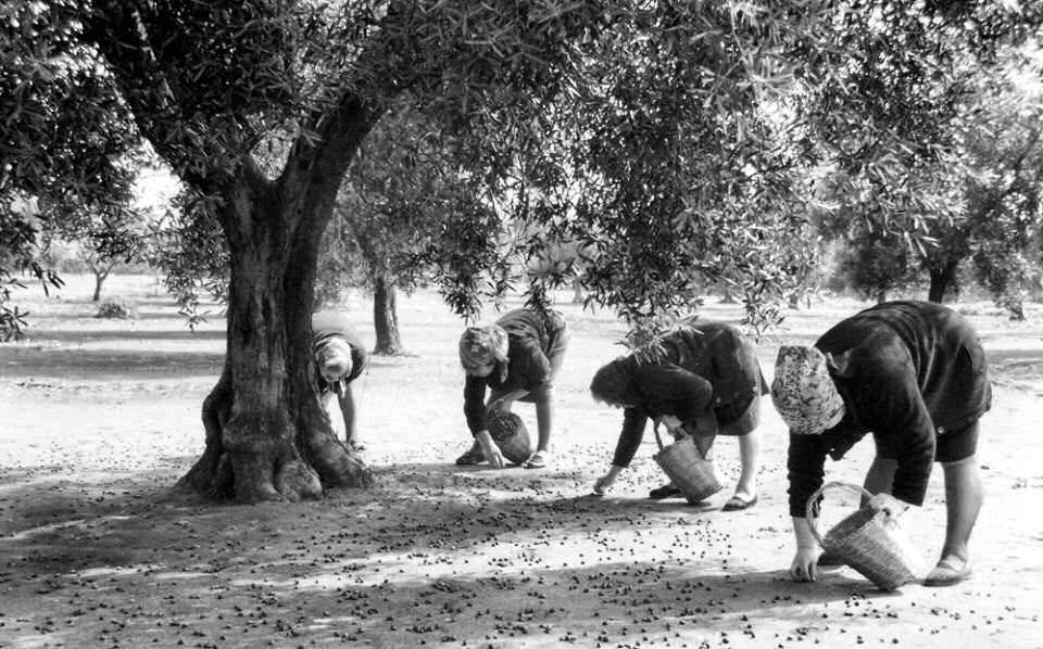 raccolta olive lazio